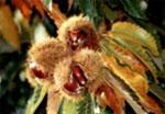 Varias castañas en rama
